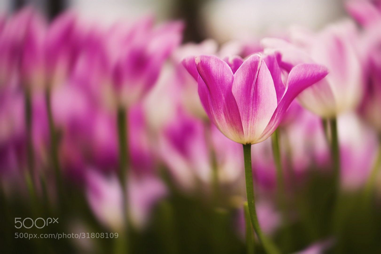 Photograph Tulips by Ömer Alp Evirgen on 500px