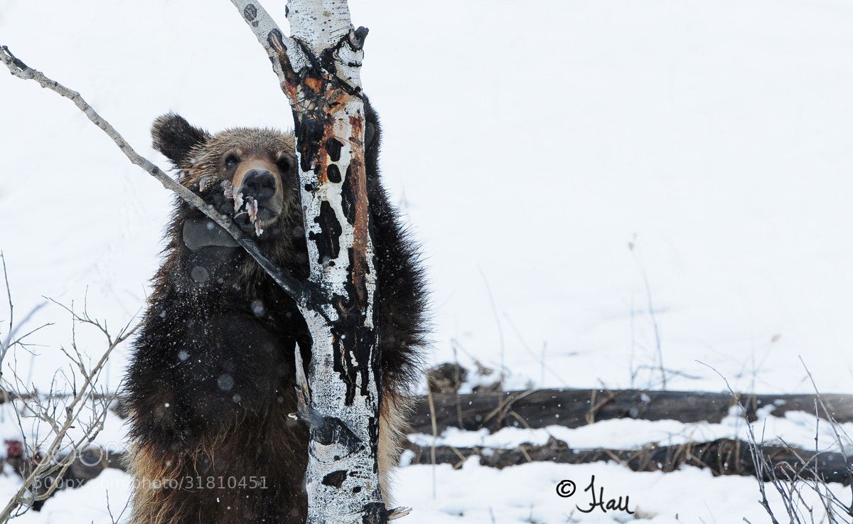 Photograph Grizzly Bear Cub  by Jen Hall on 500px