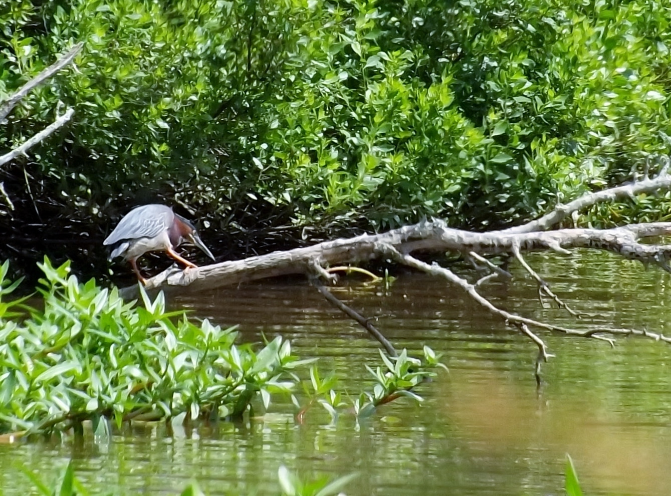 Photograph Green Night Heron fishing for dinner by Shirley Johnson on 500px