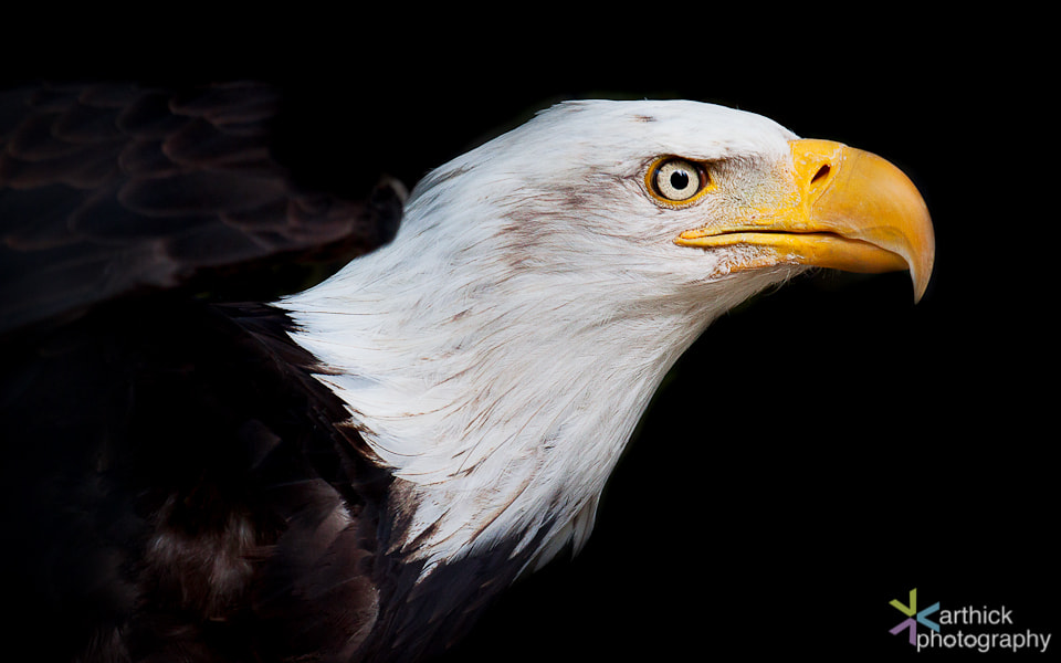 Photograph The Bald Eagle by Karthick Ramachandran on 500px