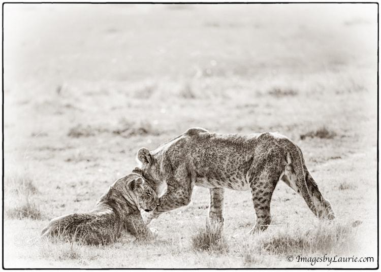 Young African Lions (Maasai Mara, Kenya)