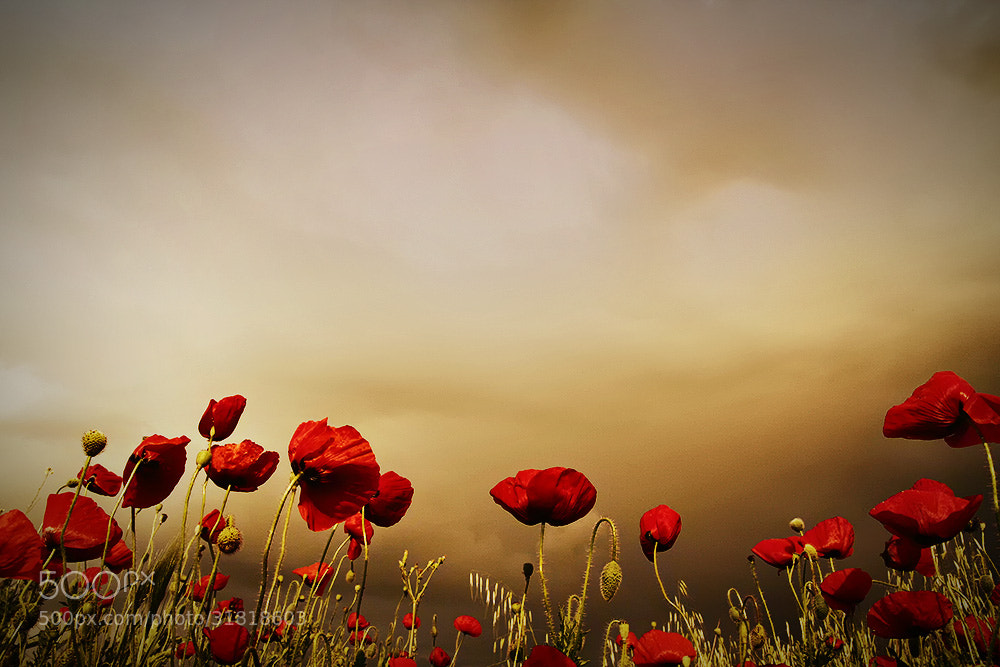 Photograph Poppies by Christos Lamprianidis on 500px