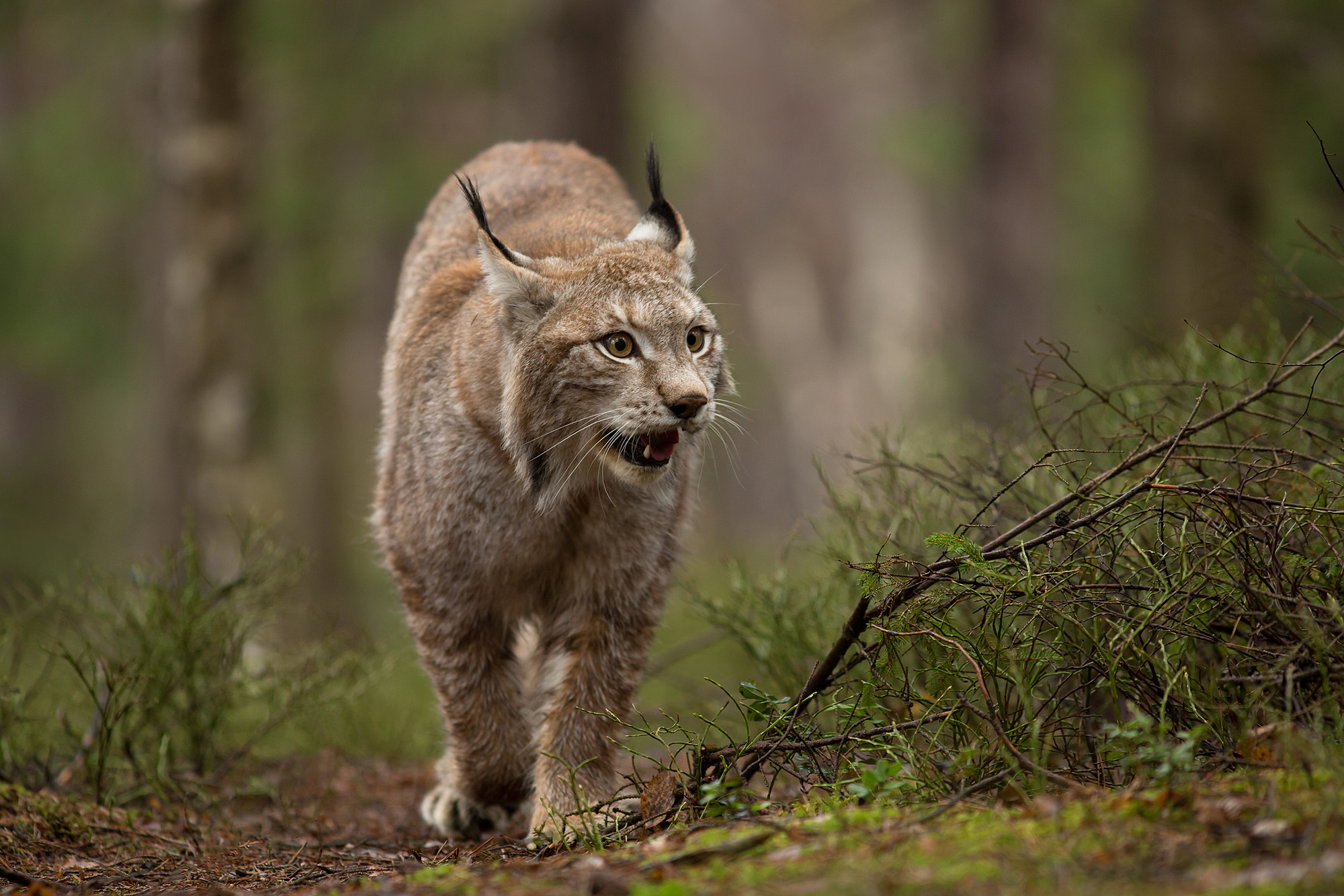 Photograph  European Lynx  by Milan Zygmunt on 500px
