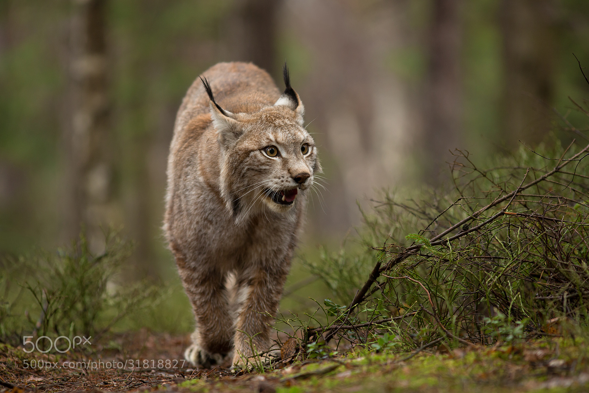 Photograph  European Lynx  by Milan Zygmunt on 500px