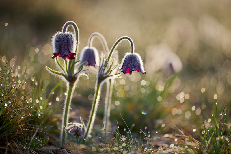 Photograph Pasque Flowers by Martin Rak on 500px
