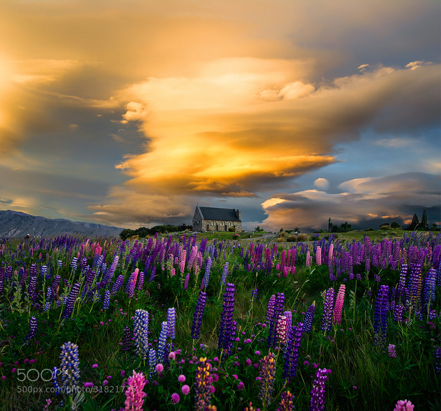 Photograph Lupin Field  by OaKy Isra on 500px