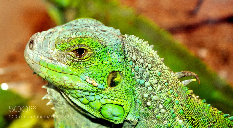 Photograph Chameleon by Anu Mathew on 500px