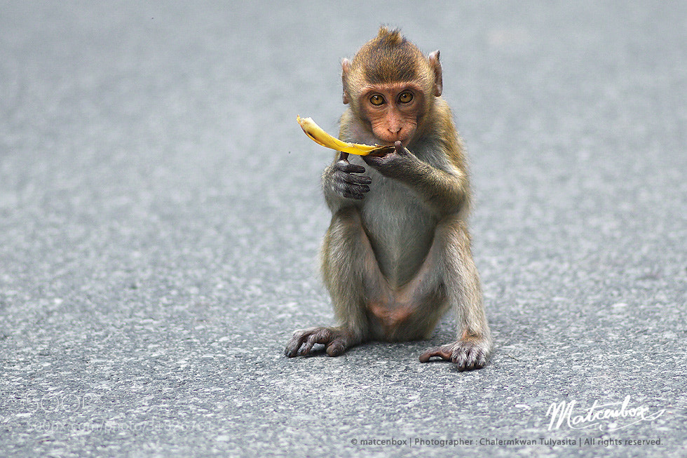 Photograph monkey eating by Matcenbox  on 500px