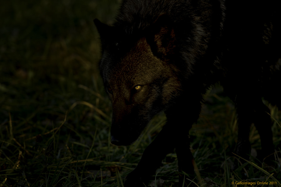 Black wolf lurking in the shadows by Mark Perry on 500px.com