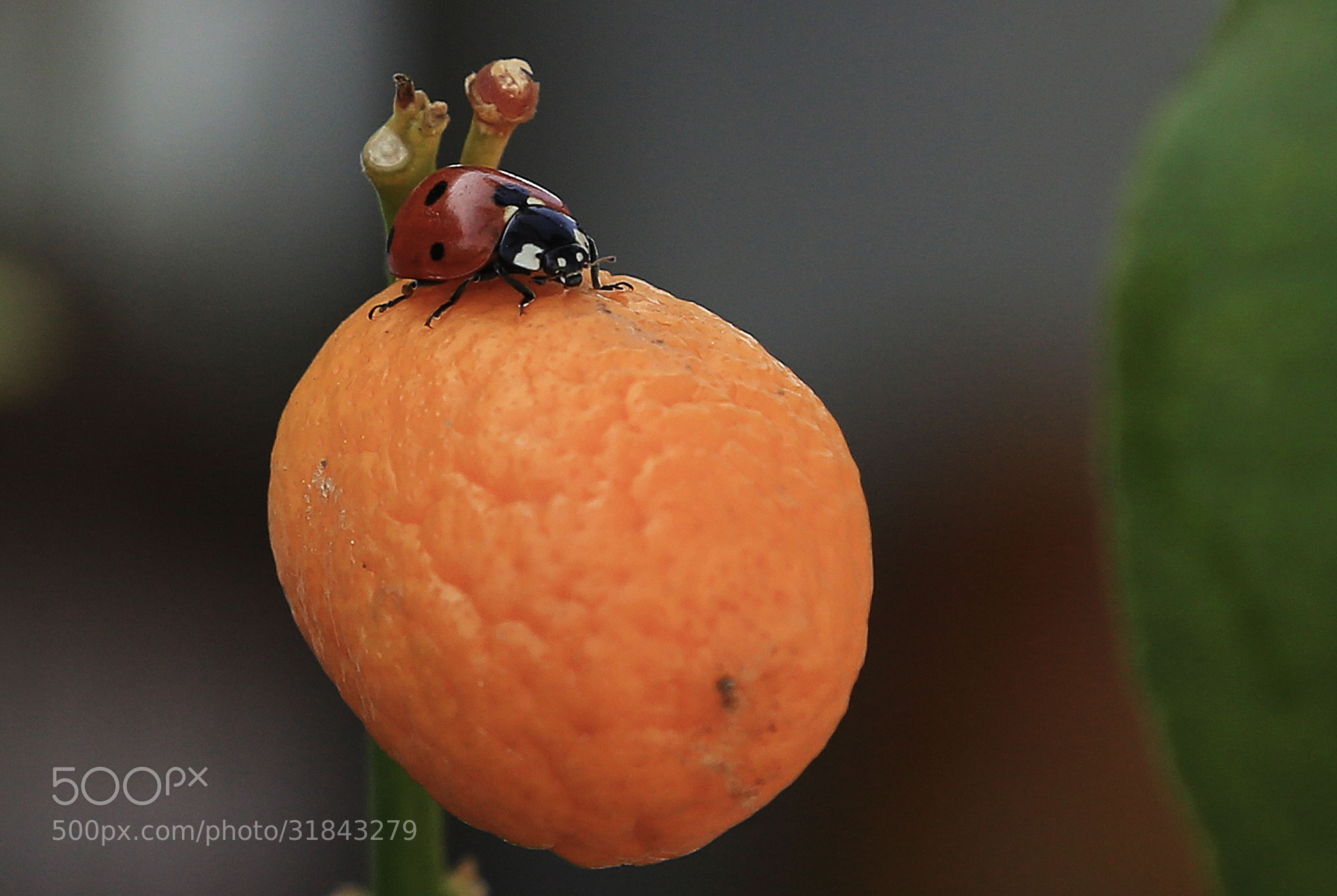 Photograph a LadyBug by Flavio Miani on 500px