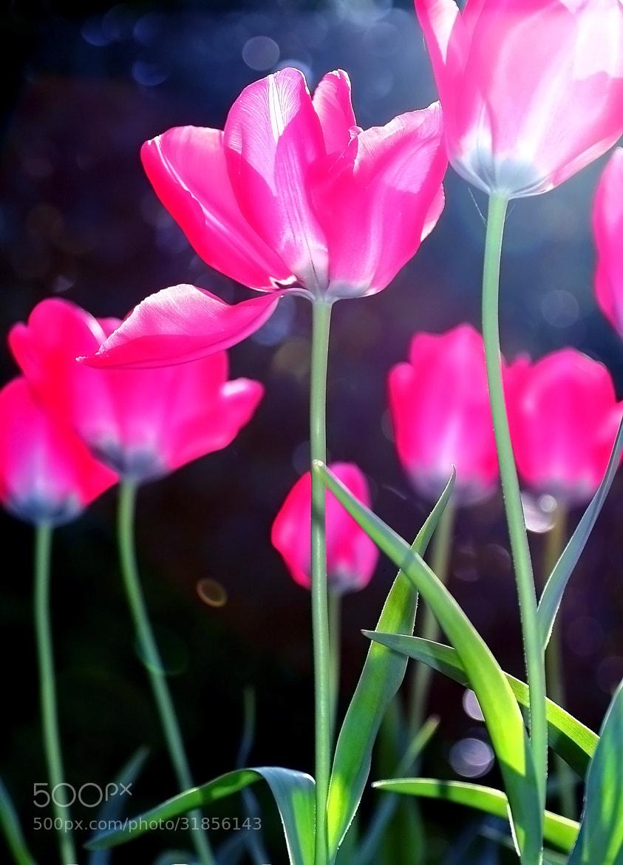 Photograph Tulip by OKAWA โอ๋กะหว้า. somchai on 500px
