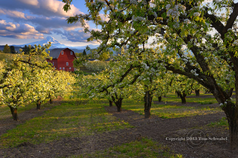 Photograph Spring in the Orchard by Tom Schwabel on 500px