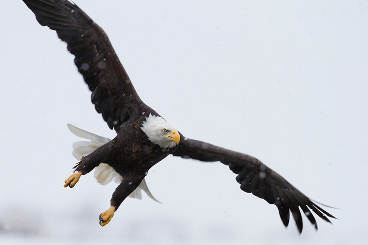 Photograph Bald Eagle flying in snow by Nicolas Dory on 500px