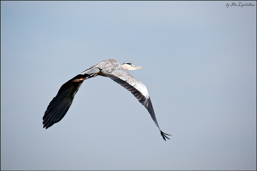 Flying grey heron