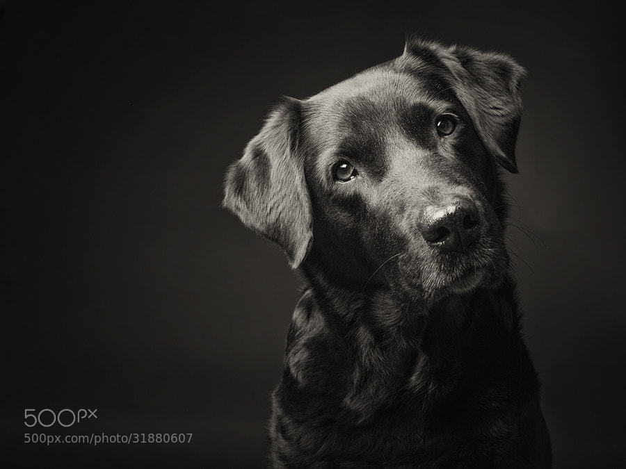 Dog photography - Photograph Black labrador by Elke Vogelsang on 500px