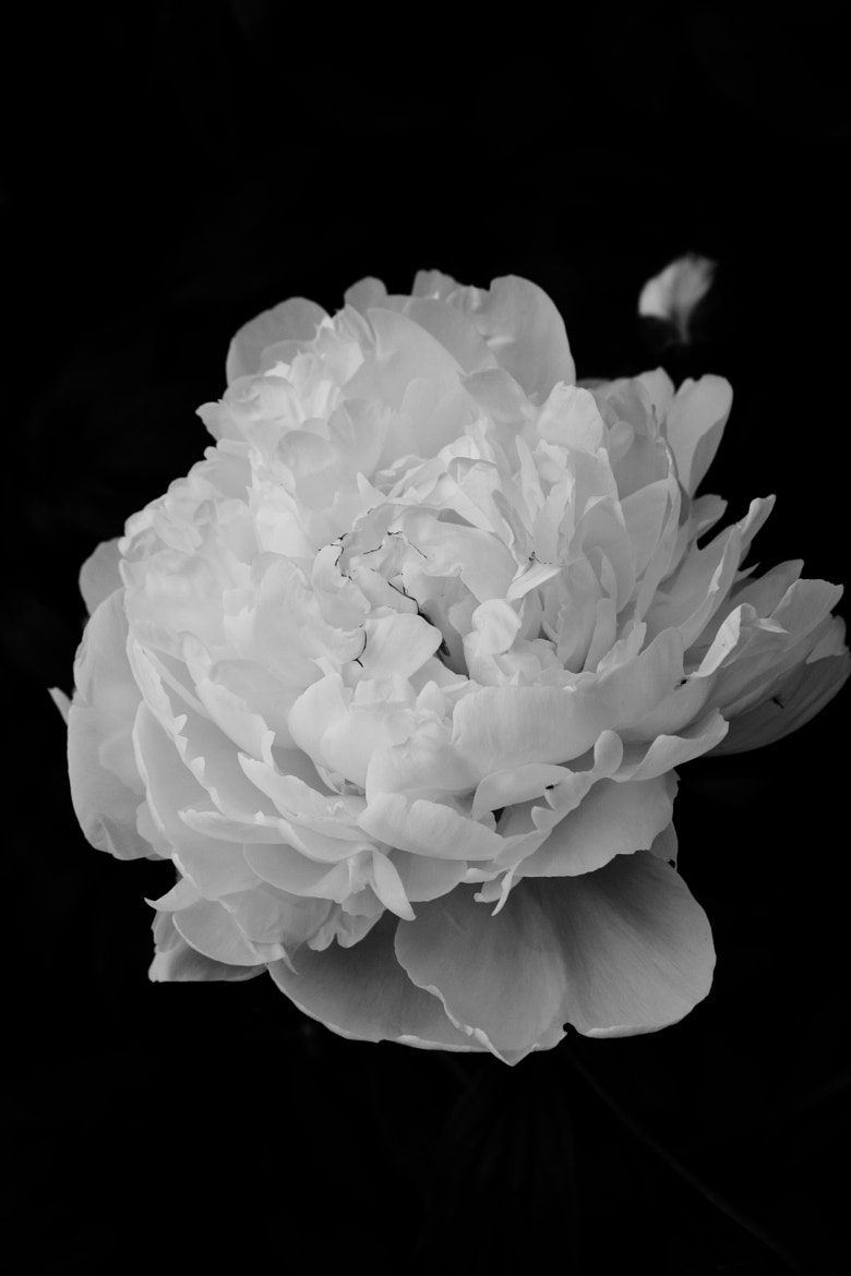 Photograph peony by Jae Man Joo on 500px