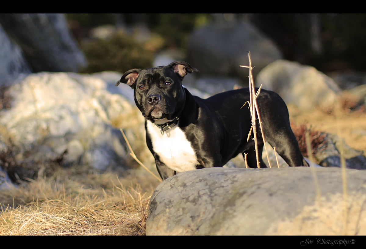 Photograph Staffy 3 by Joe Sparr on 500px