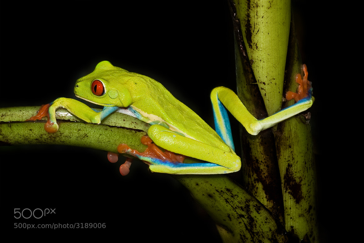 Photograph Red eyed tree frog (Costa Rica) by Oscar Del Rio Monferrer on 500px