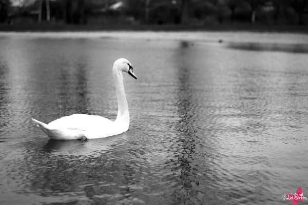 Photograph Black & White Swan  by Lid Sirkis P. on 500px