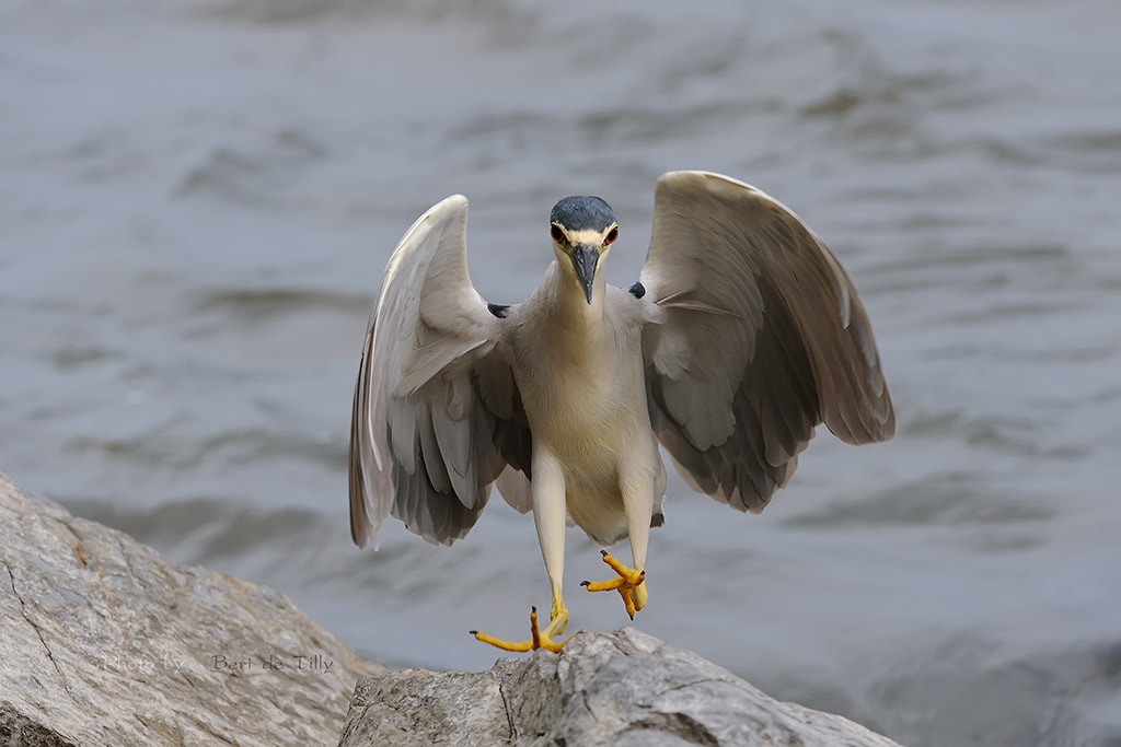 Photograph Black-crowned Night Heron by Bert  de Tilly on 500px