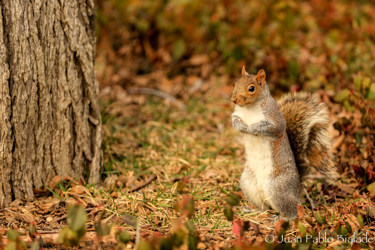 Photograph Another tree squirrel, Central Park, NYC. by Juan Pablo Bialade on 500px