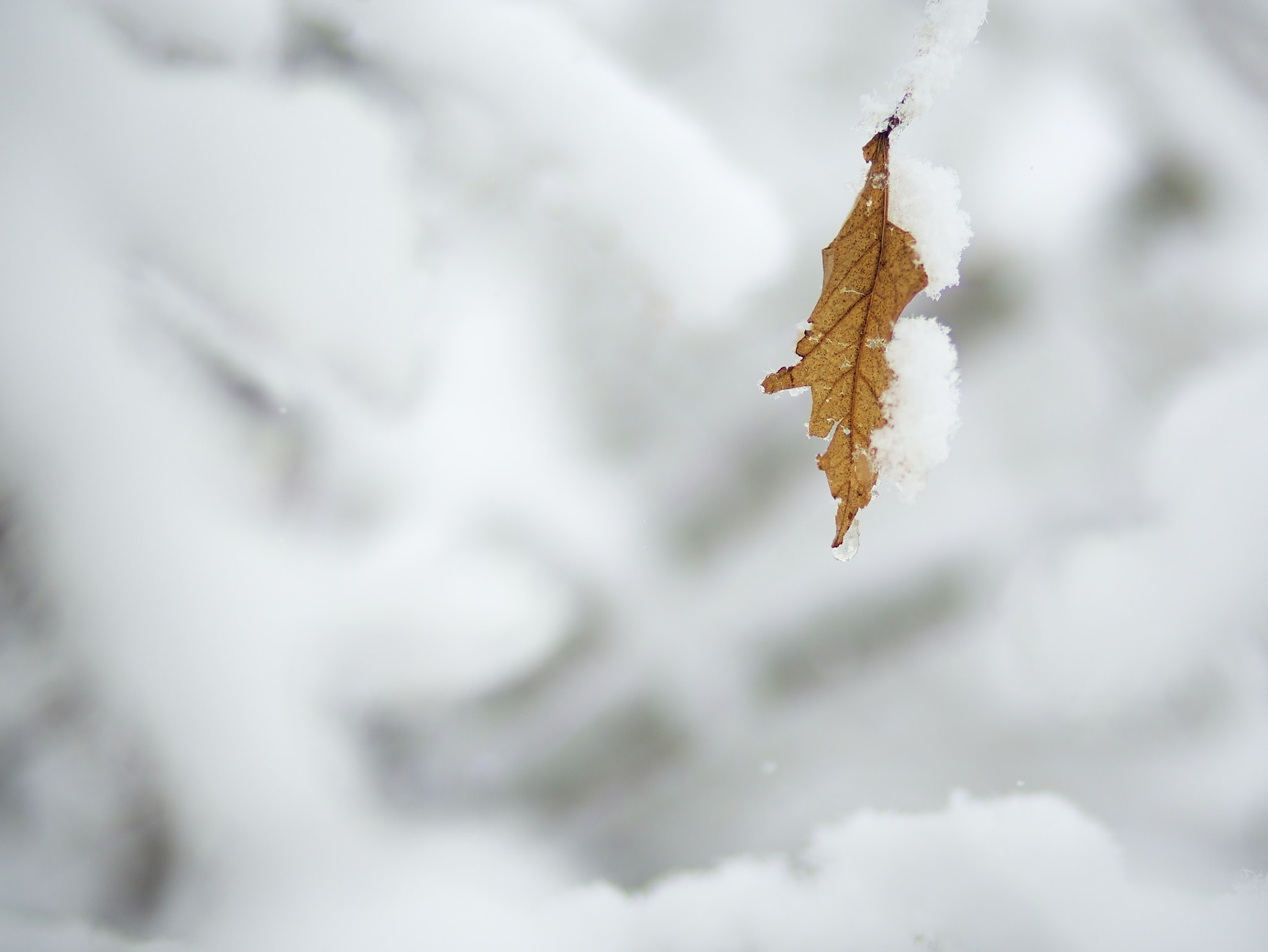 Photograph Snow swallows a leaf that held on for dear life by mitch aunger on 500px