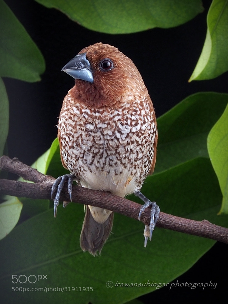 Photograph Scaly Breasted Munia by Irawan Subingar on 500px