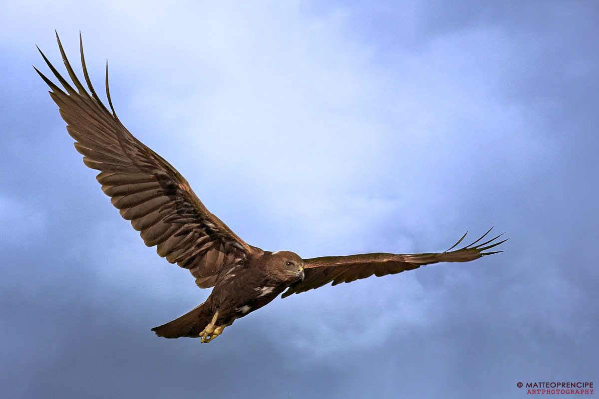 Photograph Hawk in the storm by Matteo Prencipe on 500px