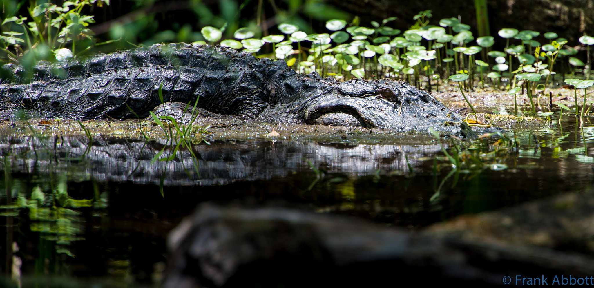 Photograph Florida Gator by Franklin Abbott on 500px