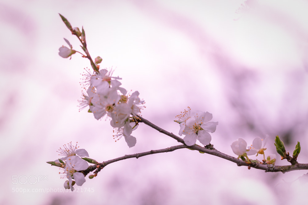 Photograph cherry blossom by Marion Fanieng on 500px