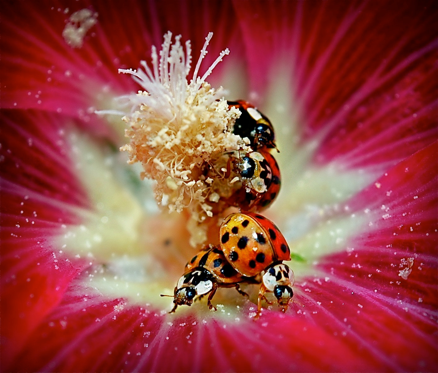 Photograph Ladybug Burst by clare scott on 500px