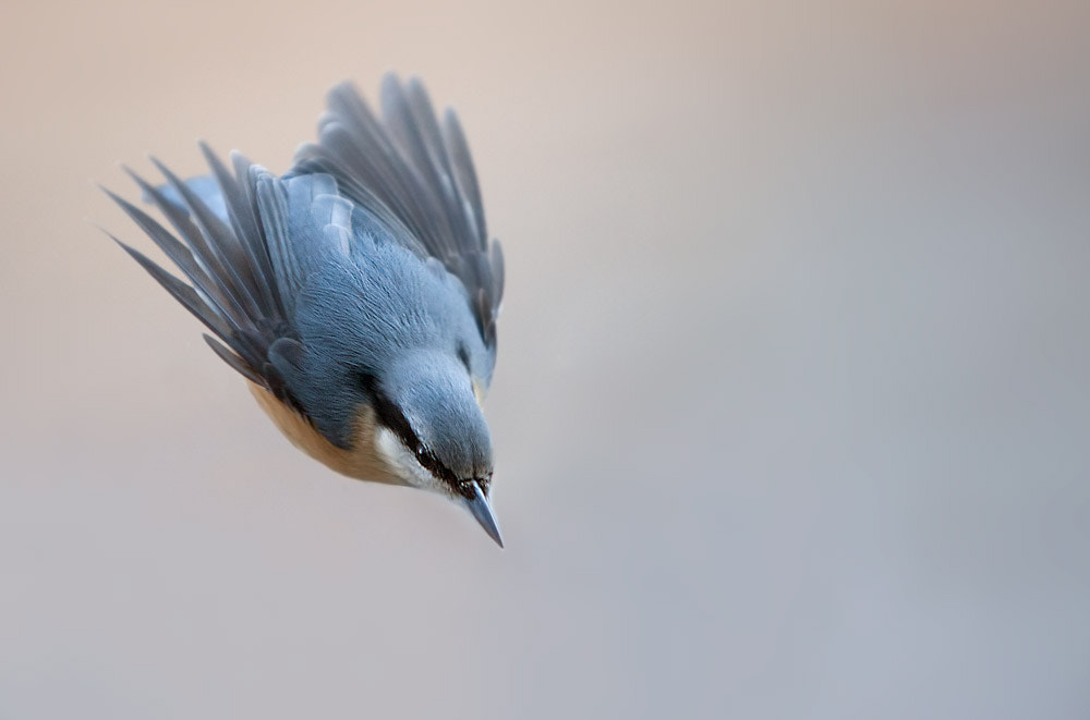 Photograph Eurasian Nuthatch by Stefano Ronchi on 500px