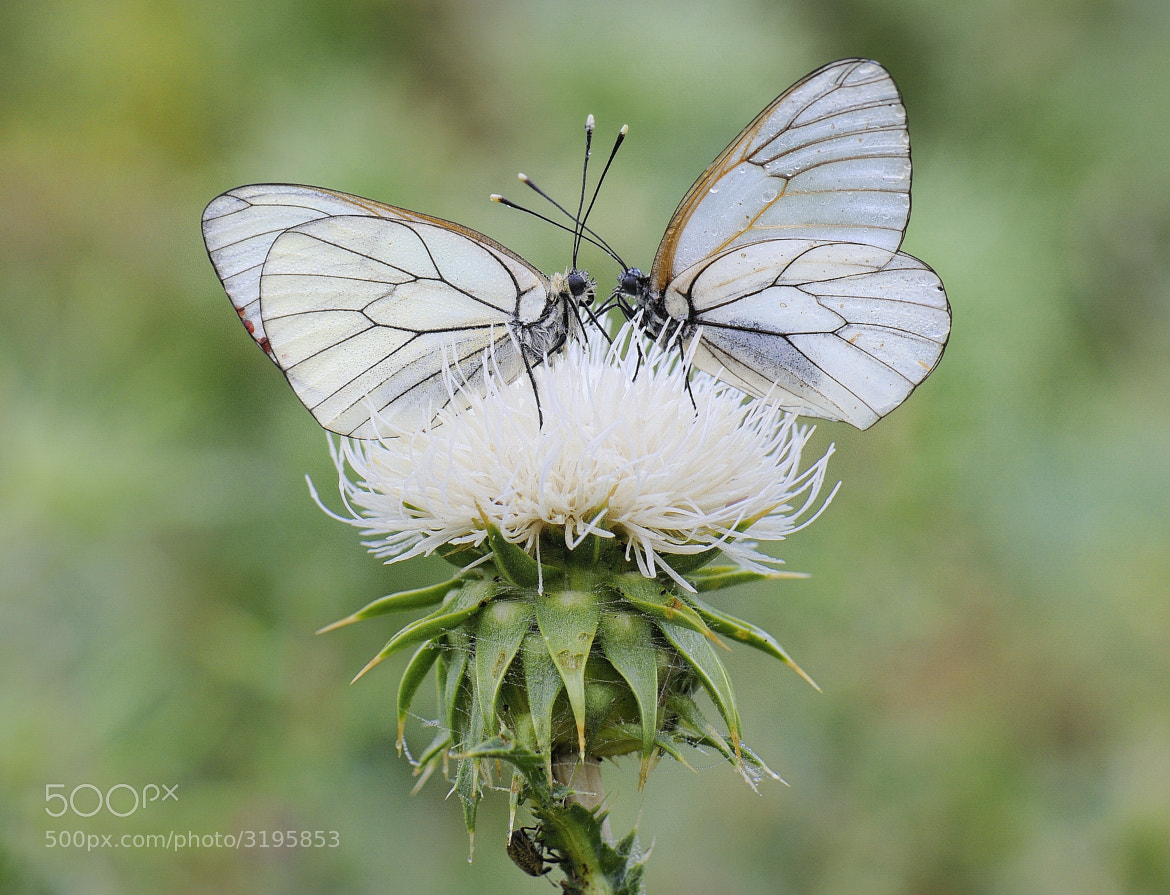 Photograph White Papillon by mauro maione on 500px