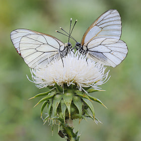 White Papillon by mauro maione (marveros)) on 500px.com