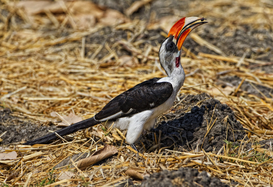Found only in North Eastern Africa, we were lucky to find this, in Ruaha Natioal Park, Tanzania
