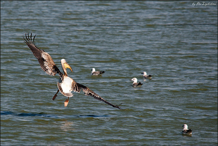 Pelicans fly!