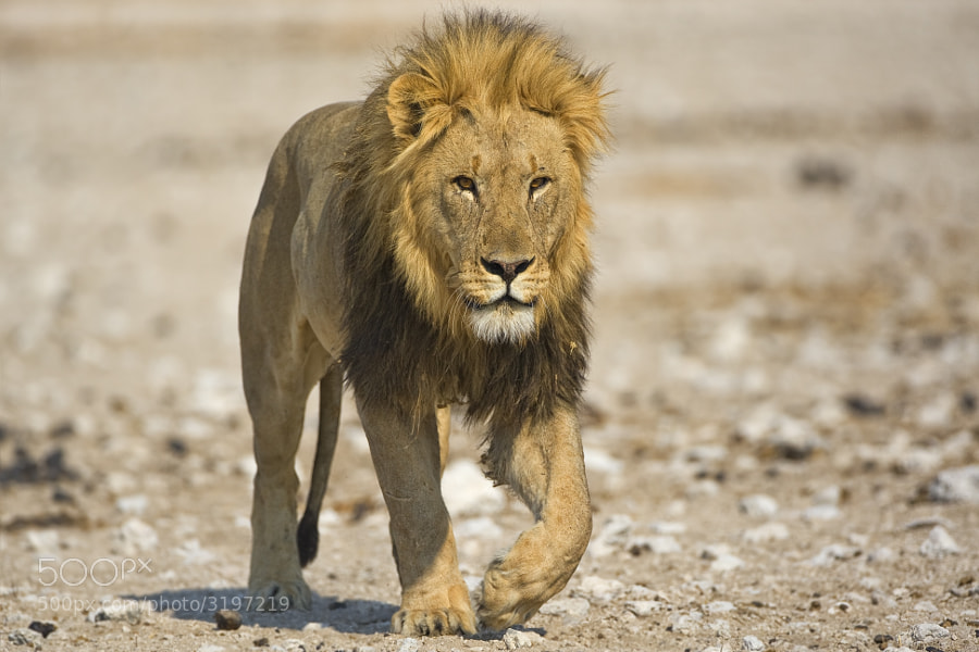 This fine Male approches our car on his way to Gemsbokvlakte waterhole, Etosha NP, Namibia, I had to swap to smaller lens after this shot