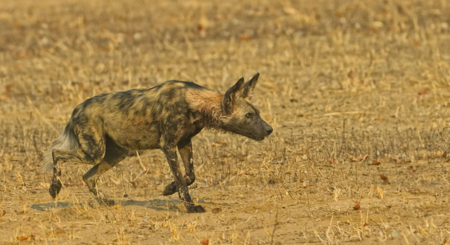 This dog was returning to his pack, in Mana Pools, Zimbabwe
