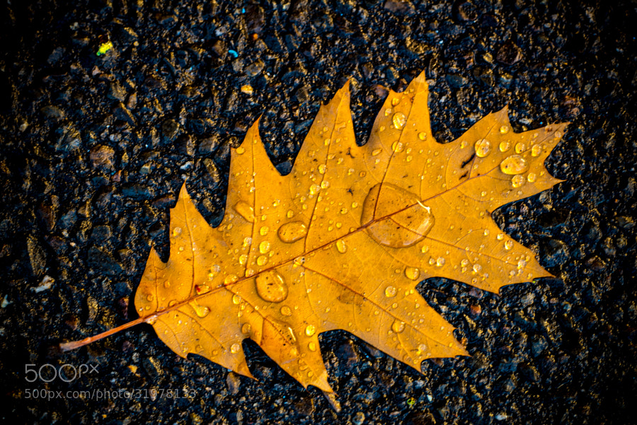the fallen leaf with the rain drops lolled like tear drops,