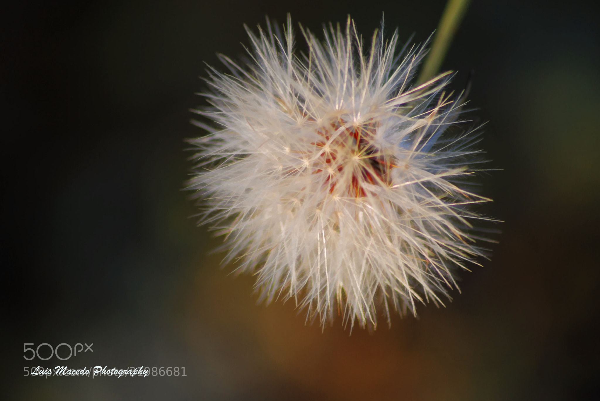 Photograph Dandelion by Luis Pereira on 500px