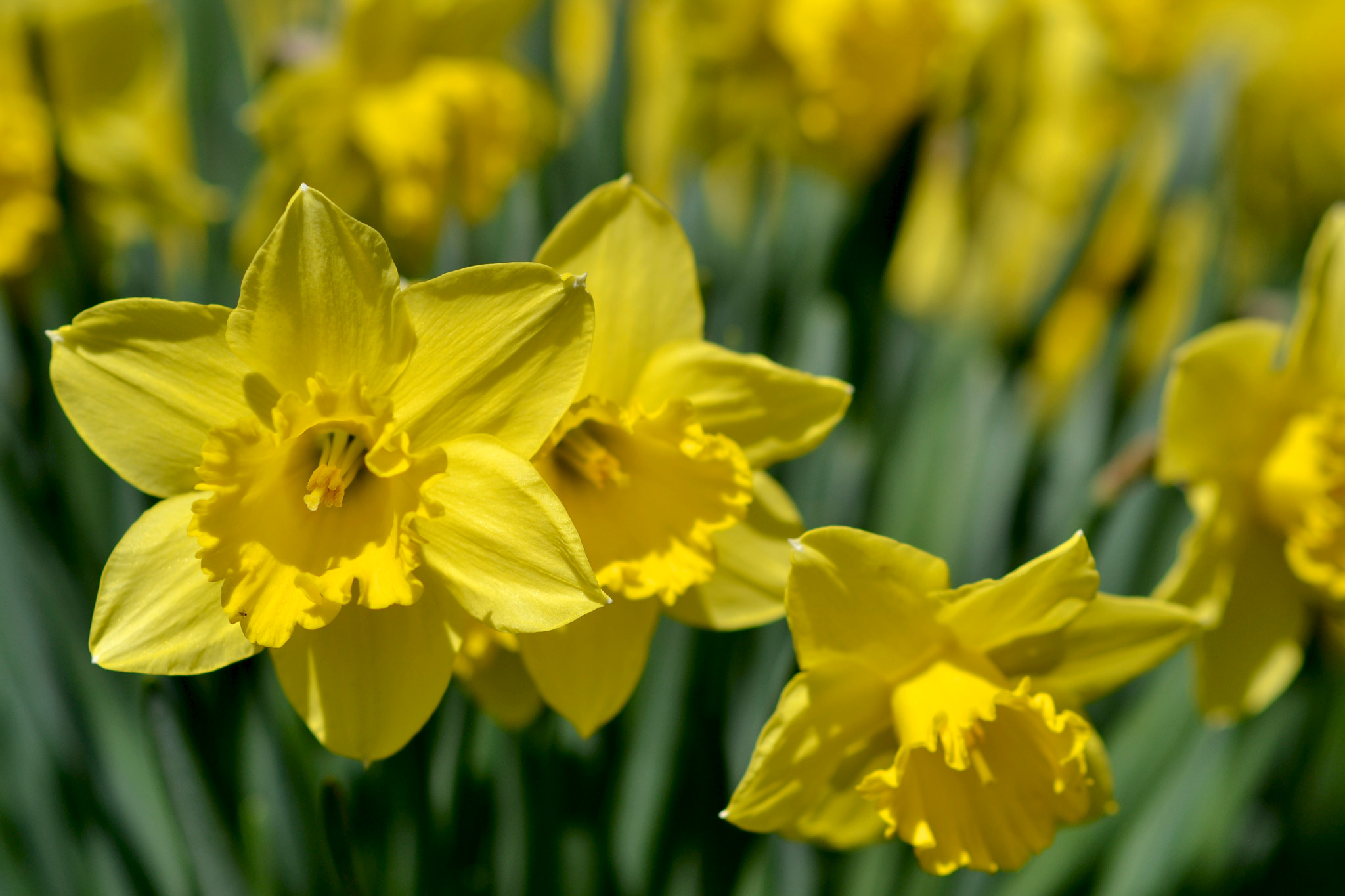 Photograph Daffodils by Michael Fey on 500px