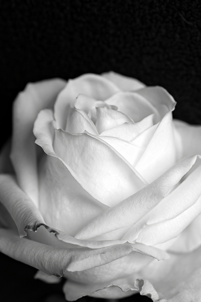 Photograph White rose by Anne Costello on 500px