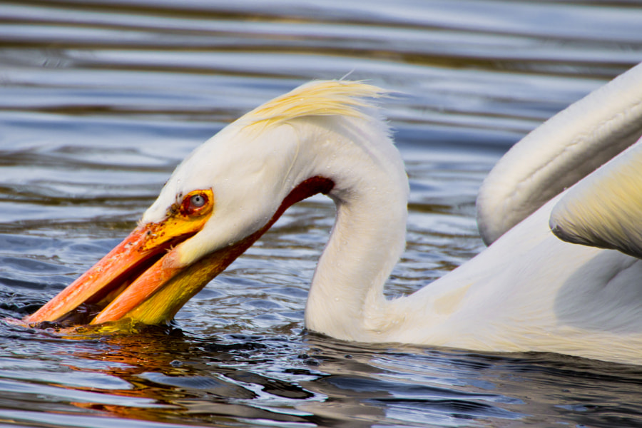 Great white pelican looking for food in a lake in a London park.  The Great white pelican's (pelecanus onocrotalus) pouch serves simply as a scoop. As the pelican pushes its bill underwater, the lower bill bows out, creating a large pouch which fills with water and fish. As the bird lifts its head, the pouch contracts, forcing out the water but retaining the fish.