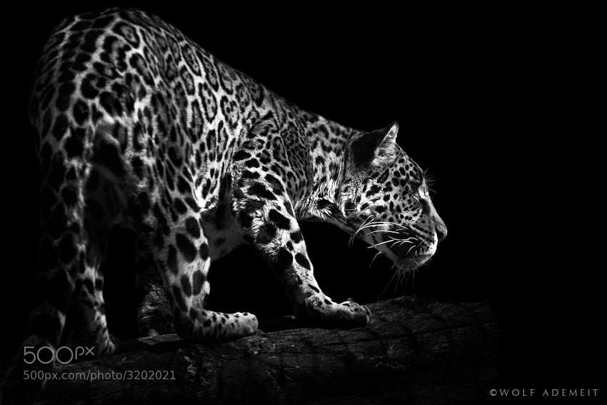 Photograph JAGUAR by Wolf Ademeit on 500px