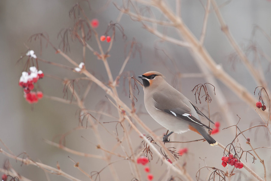 Photograph Waxwing by Johannes Klapwijk on 500px