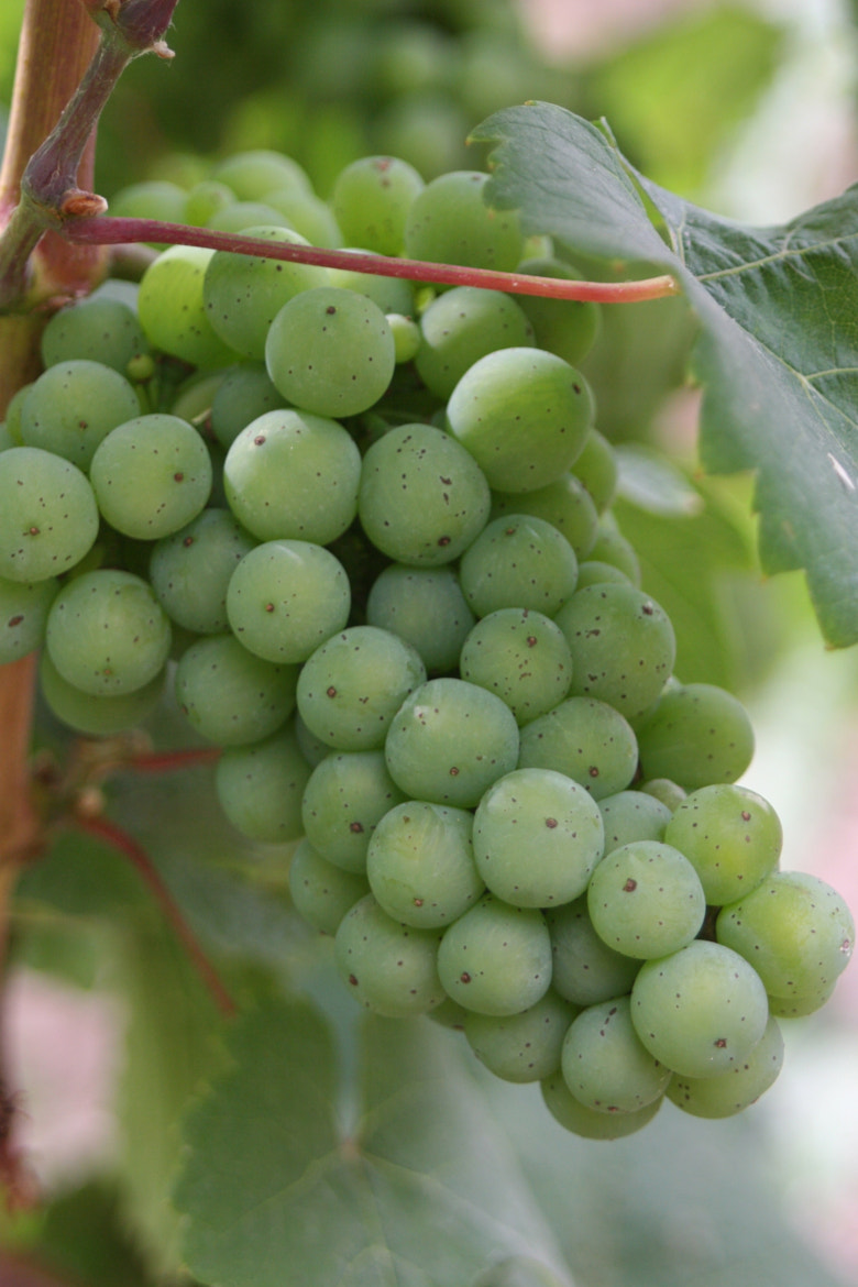 Photograph Grapes by Gabe Ison on 500px