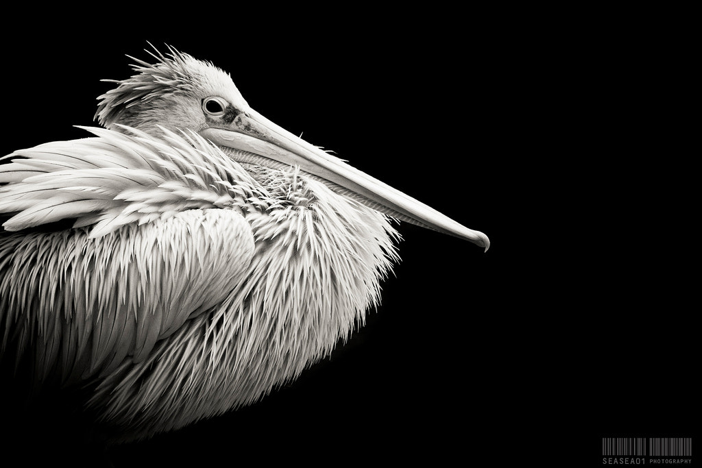 Photograph Pelican by Arnau Perez on 500px