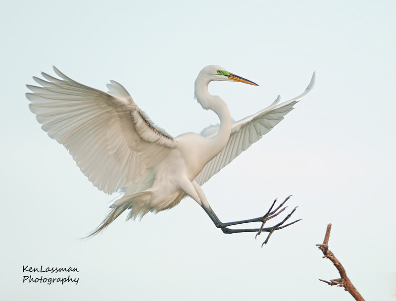 Photograph Incoming Great Egret by Ken  Lassman on 500px