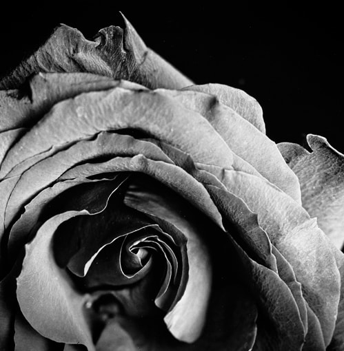 Photograph Rose by Dan Miller on 500px