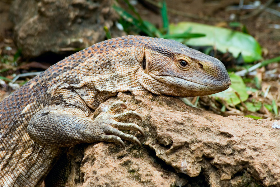 Photograph Reptile by Alexander Drakon on 500px